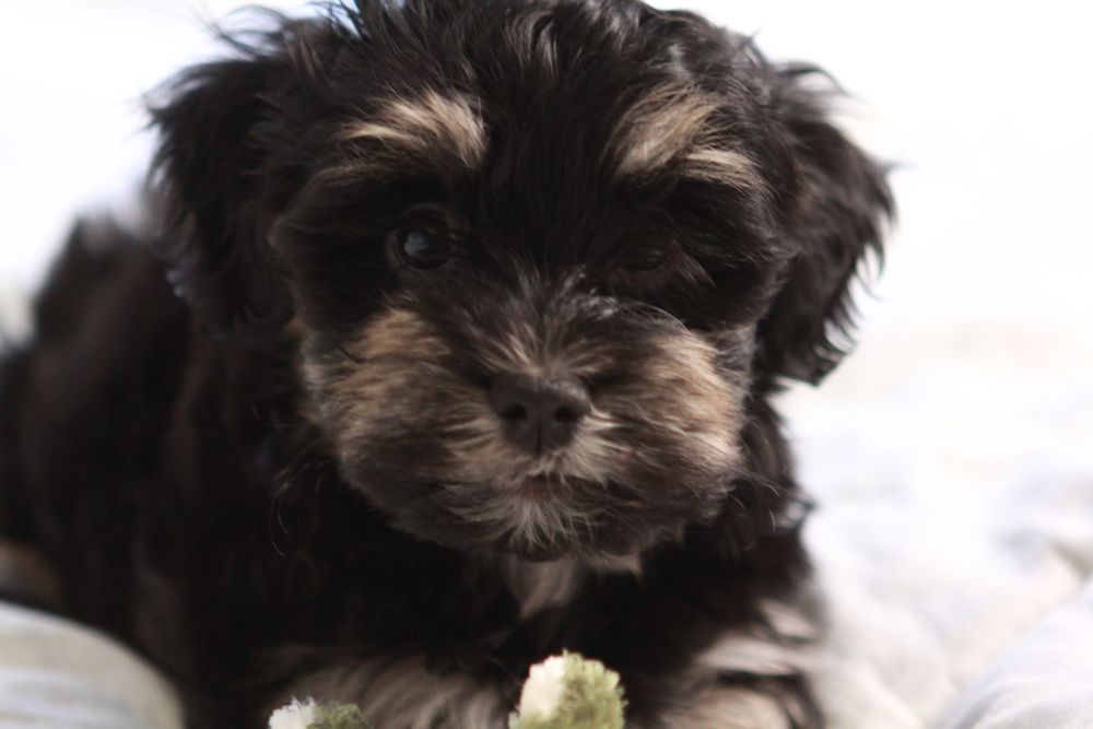 •Simon the King… Black and tan havanese puppy UNAVAILABLE ...