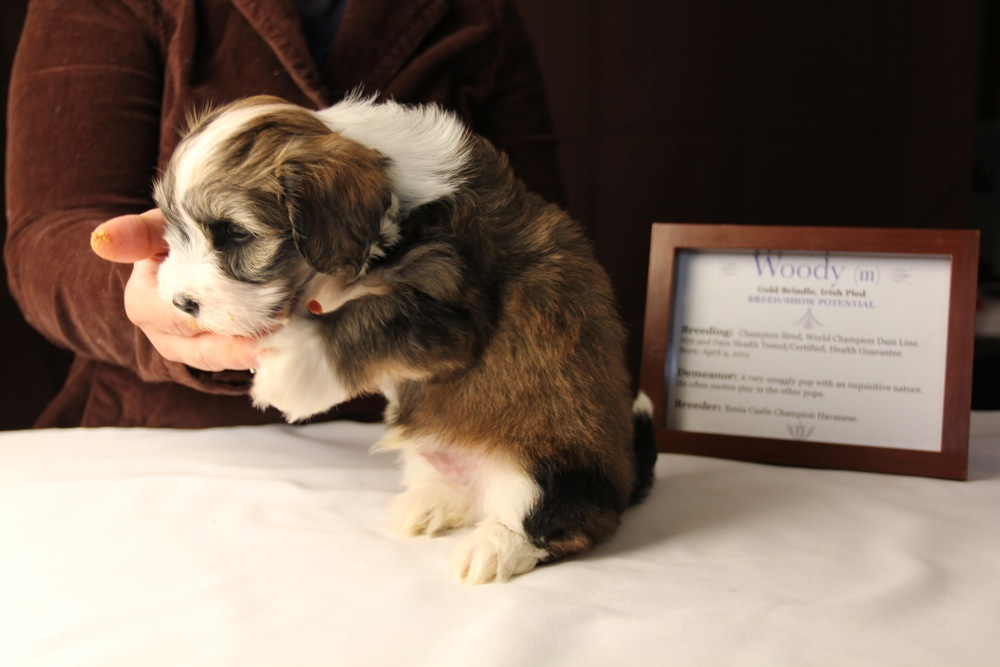 Woody-Gold-Brindle-Irish-Pied-Havanese-Puppy_IMG_3130