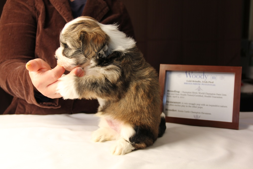 Woody-Gold-Brindle-Irish-Pied-Havanese-Puppy_IMG_3132