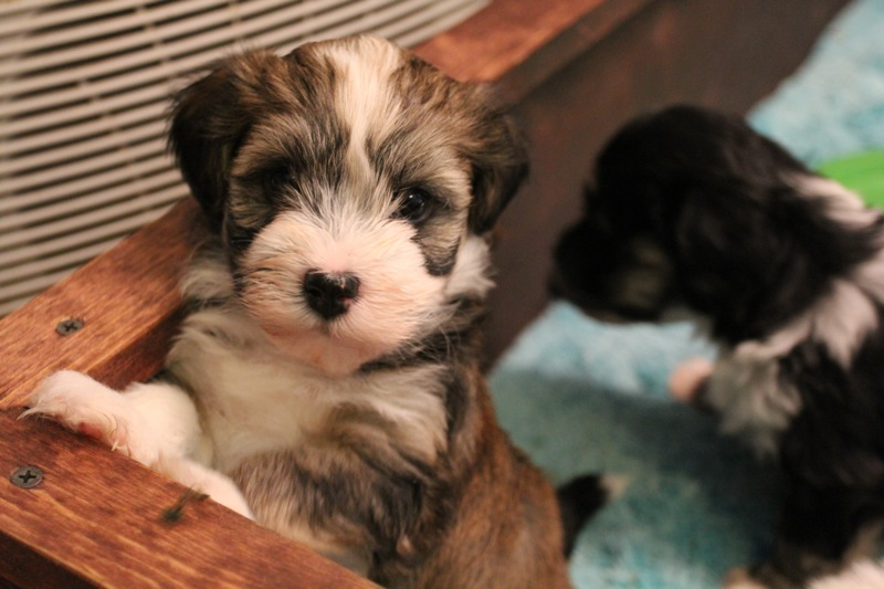 Woody_Brindle_Irish_Pied_Havanese_PuppiesIMG_2535