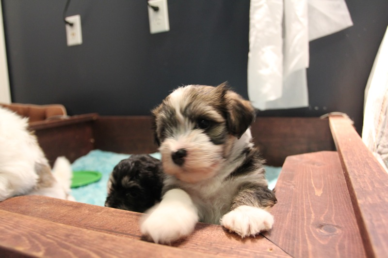 Woody_Brindle_Irish_Pied_Havanese_PuppiesIMG_2650