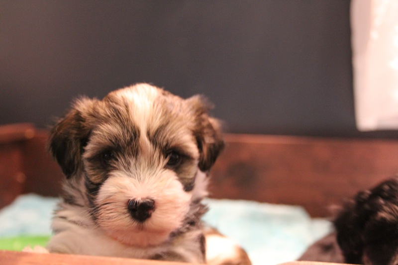 Woody_Brindle_Irish_Pied_Havanese_Puppies_IMG_2581