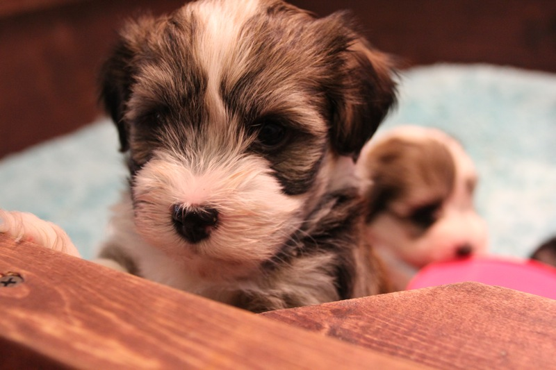 Woody_Brindle_Irish_Pied__Havanese_Puppies_IMG_2605