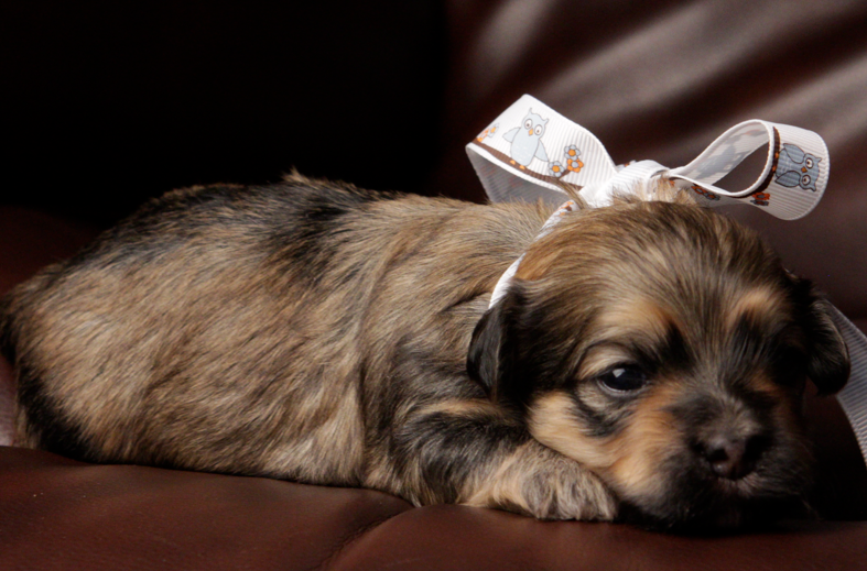 Dancer - Sable Brindle Havanese Puppy Female
