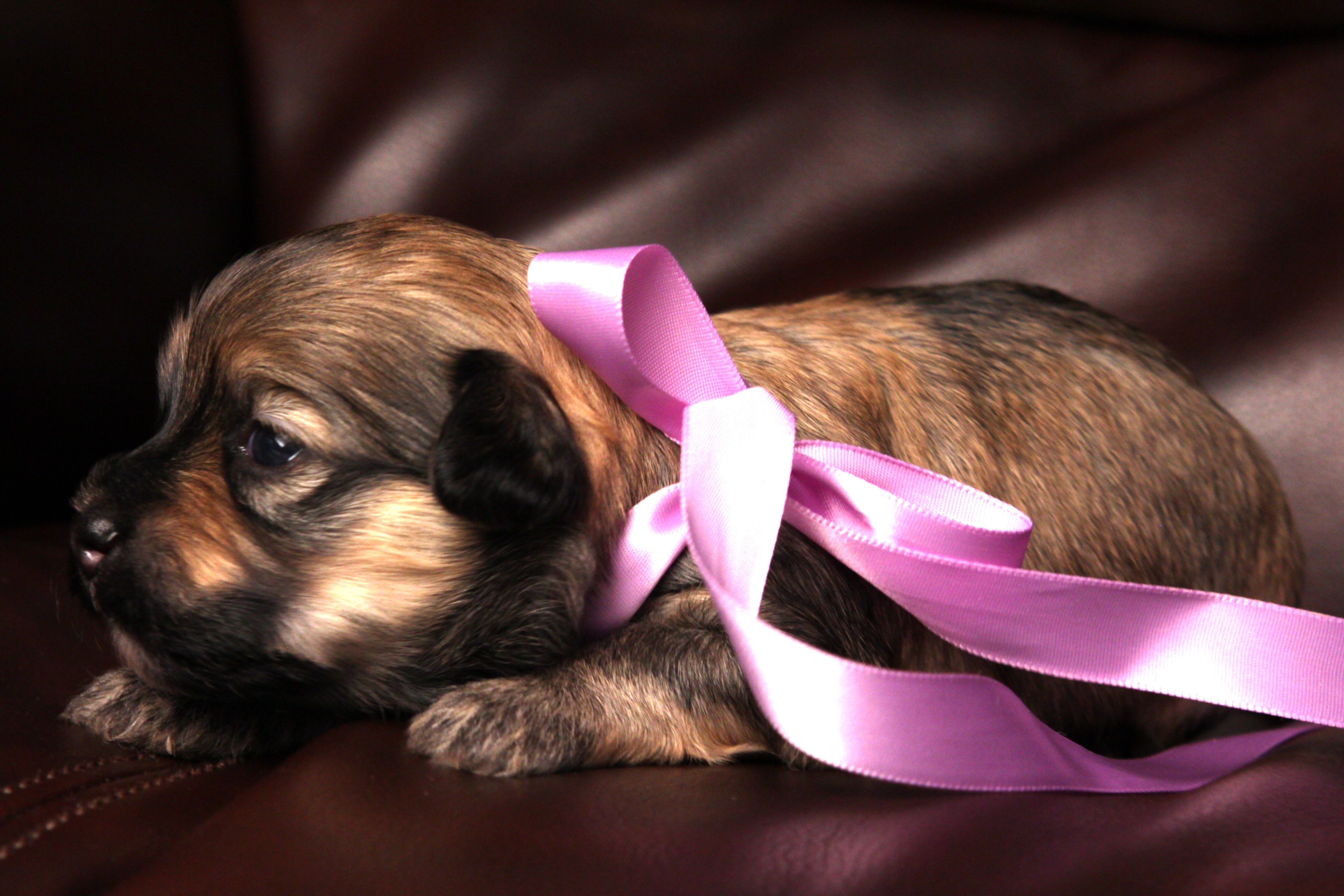 Dasher - Female Sable/Brindle Havanese Puppy