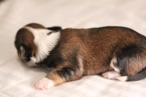 Brindle Pied Havanese Puppy