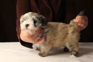 Jewel Fawn Sable Havanese Puppy (Female)