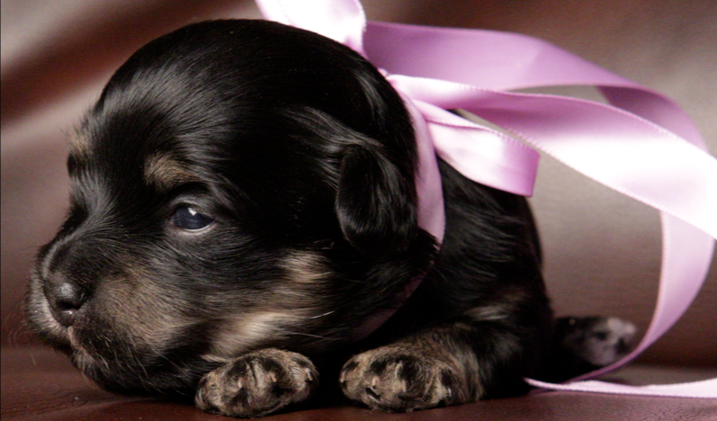 Prancer - Female Havanese Black and Tan puppy