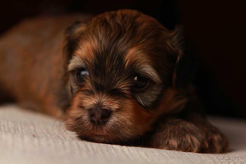 Gold Sable Brindle Havanese Puppy
